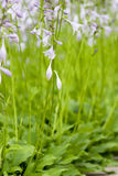 Hosta plantaginea Aschers Royalty Free Stock Images
