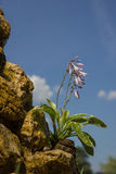 Hosta plantaginea on a rocky well Royalty Free Stock Images