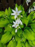Hosta plantaginea. White Lily. Very expressive smell. White or gray flowers among a huge bush of lime leaves royalty free stock photography