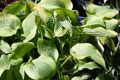 Hosta or plantain lilies leaves background Royalty Free Stock Image