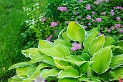 Hosta planted in summer garden. With other perennials stock images