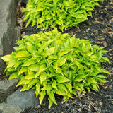 Hosta Plants Stock Images