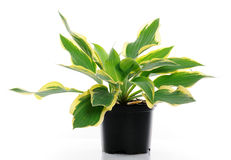 Hosta. Pot with hosta Wide Brim on white background royalty free stock images