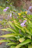 Hosta purple Royalty Free Stock Image