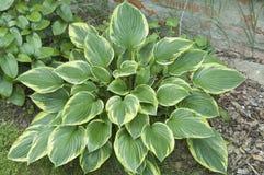 Hosta roślina Zdjęcie Royalty Free