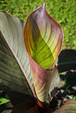 Hosta Roll stock photo