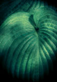 Hosta in the Shade Royalty Free Stock Photo