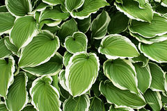 Hosta Silver Crown Royalty Free Stock Photos