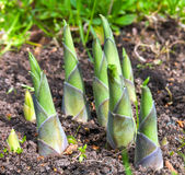Hosta Royalty Free Stock Image