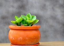 Hosta sur le pot Photo stock