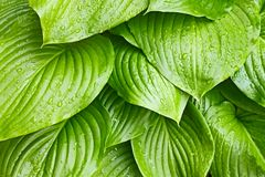 Hosta Tortilla Chip leaves with water drops Stock Images