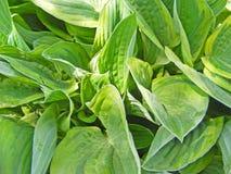 The Hosta variegata, garden plant