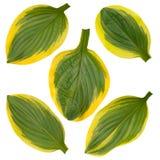 Hosta verde e folhas listradas amarelas isoladas no branco Fotos de Stock Royalty Free