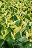 Hosta vert et jaune Photographie stock