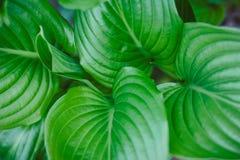 Hosta Vetricosa Royaltyfria Bilder