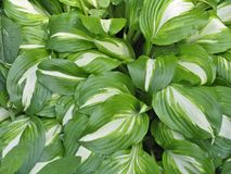 Hosta with the white veins Stock Photography
