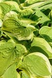 Hosta are widely-cultivated ground cover plants need very little sun royalty free stock images
