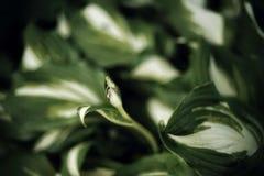 hosta zieleń opuszcza zakończenie makro- zdjęcie stock