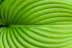 Hostablattnahaufnahme Hosta - eine Zierpflanze für die Landschaftsgestaltung des Park- und Gartendesigns Stockbild
