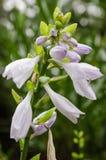 Hostaen blommar med bladlöss Arkivfoton
