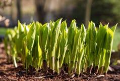 Hostas émergeant au printemps Images libres de droits