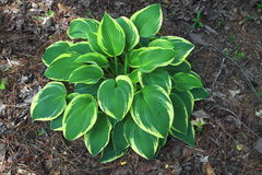 Hostas Stock Images