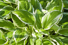 Hostas Royalty Free Stock Images