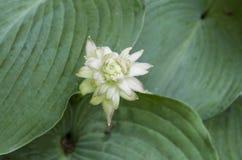 Hosta Bloom 3