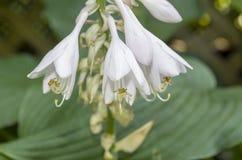 Hosta Flower Cluster 1
