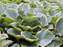 Hostas Royalty Free Stock Photography