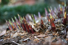 Hostas Coming Up! Stock Photos