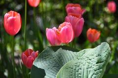 Hostas contra Tulipanes Imágenes de archivo libres de regalías