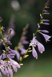Hostas florecientes Fotos de archivo