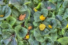 Hostas large leaf Royalty Free Stock Photography