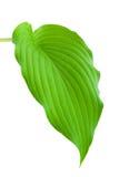 Hostas Leaf. Hostas plant leaf isolated on white background Royalty Free Stock Images