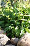 Hostas Royalty Free Stock Photos