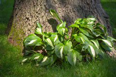 Hostas Plant Stock Photos