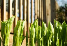 Hostas que despliegan en primavera Imagenes de archivo