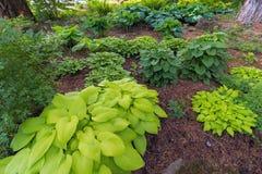 Hostas Variety in Garden Royalty Free Stock Image