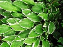 Hostas verdes con los bordes blancos Imagen de archivo