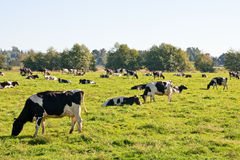 Hostein Cows Eating in Pasture Royalty Free Stock Photos