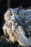 Hostile. European eagle owl stares wih a mix of hostility and fear stock photo