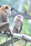 Hostile monkey Stock Image