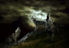 The hosts of the night are wolves. A pack of wolves on a dark night royalty free stock photos