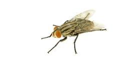 Hosusefly auf Weiß lokalisiertem Hintergrund Stockfoto