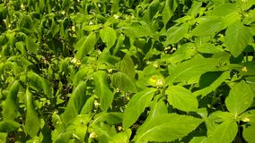 A hot afternoon in a glade, wilted green flower in blosom with bent leaves stock video