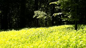 A hot afternoon in a glade, wilted plants with bent light green leaves. Background forest stock footage