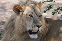 A male lion seeking some shade Stock Photography