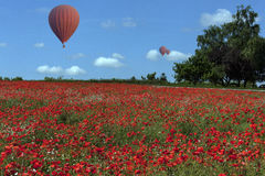 Hot Air Balloons - Poppy Field - England Royalty Free Stock Images