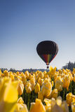 Hot air balloon ride over the tulips Stock Photography